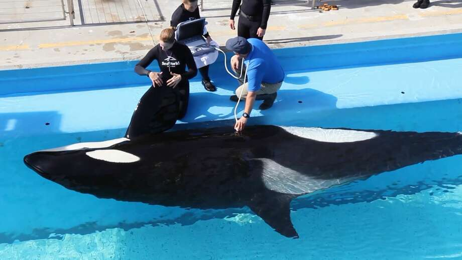 SeaWorld workers perform a sonogram on Takara, who's expected to give birth this spring.  Photo: Courtesy/SeaWorld