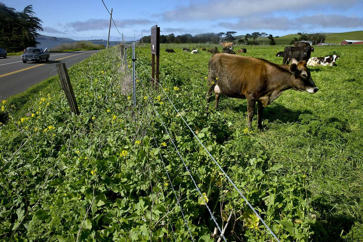 Several cows graze near the fence keeping them from Highway 1 near Point Reyes Oyster Co., in Marshall, Calif., on Wednesday, March 8, 2017. Strain recently got a call, since-retracted, that some consumers had suffered gastrointestinal distress after eating oysters from his Tomales Bay farm. Initially, the suspect oysters were believed to have come from a part of the bay that's prone to runoff with manure from local dairies during winter storms, which can send fecal coliform into the water that can infect oysters with either vibrio or norovirus. Investigators with the California Department of Public Health now believe the source of the bad oysters is a farm in Washington, but the issue raises questions about how oyster safety is maintained during big winter storms.
