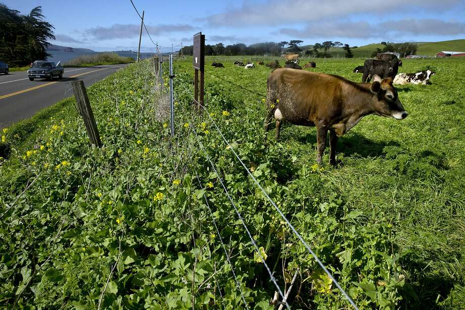 Several cows graze near the fence keeping them from Highway 1 near Point Reyes Oyster Co., in Marshall, Calif., on Wednesday, March 8, 2017. Strain recently got a call, since-retracted, that some consumers had suffered gastrointestinal distress after eating oysters from his Tomales Bay farm. Initially, the suspect oysters were believed to have come from a part of the bay that's prone to runoff with manure from local dairies during winter storms, which can send fecal coliform into the water that can infect oysters with either vibrio or norovirus. Investigators with the California Department of Public Health now believe the source of the bad oysters is a farm in Washington, but the issue raises questions about how oyster safety is maintained during big winter storms. Photo: Carlos Avila Gonzalez, The Chronicle