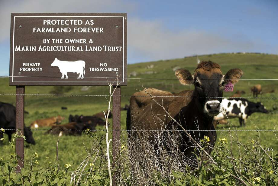 A cow grazes near a fence keeping her and others from High way 1 in un incorporated Marshall. Runoff from the hillside farms heads to Tomales Bay, which hosts several oyster farms. Photo: Carlos Avila Gonzalez, The Chronicle