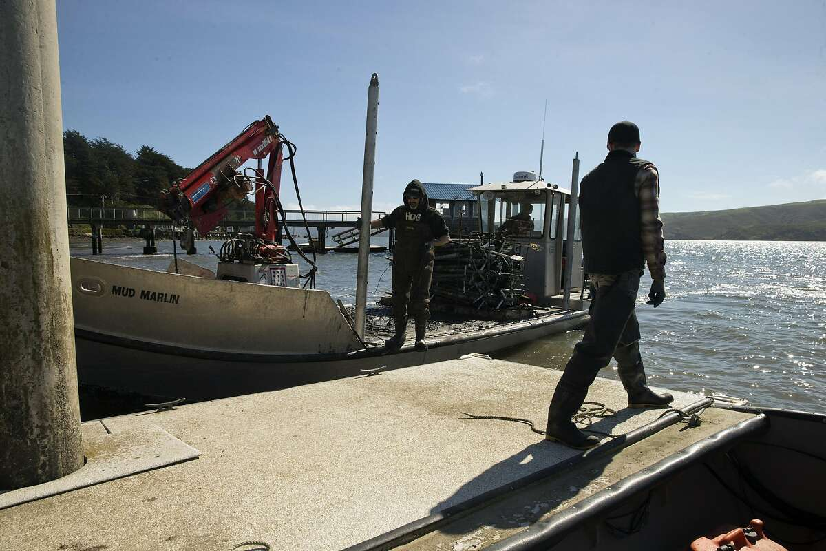 Whitt Strain, manager at Point Reyes Oyster Co., watches as the Mud Marlin, the boat from the Hog Island Oyster Co., docks next to him in Marshall, Calif., on Wednesday, March 8, 2017. Strain recently got a call, since-retracted, that some consumers had suffered gastrointestinal distress after eating oysters from his Tomales Bay farm. Initially, the suspect oysters were believed to have come from a part of the bay that's prone to runoff with manure from local dairies during winter storms, which can send fecal coliform into the water that can infect oysters with either vibrio or norovirus. Investigators with the California Department of Public Health now believe the source of the bad oysters is a farm in Washington, but the issue raises questions about how oyster safety is maintained during big winter storms.