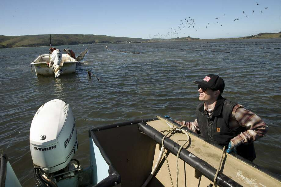 Whitt Strain, manager at Point Reyes Oyster Co., maneuvers his boat near the oyster beds in Marshall, Calif., on Wednesday, March 8, 2017. Strain recently got a call, since-retracted, that some consumers had suffered gastrointestinal distress after eating oysters from his Tomales Bay farm. Initially, the suspect oysters were believed to have come from a part of the bay that's prone to runoff with manure from local dairies during winter storms, which can send fecal coliform into the water that can infect oysters with either vibrio or norovirus. Investigators with the California Department of Public Health now believe the source of the bad oysters is a farm in Washington, but the issue raises questions about how oyster safety is maintained during big winter storms. Photo: Carlos Avila Gonzalez, The Chronicle