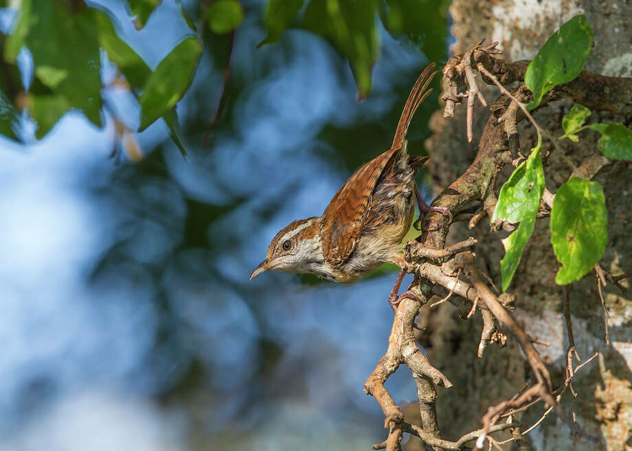 "Carolina wrens usually utter a rapid operatic song sounding like ""tea-kettle-tea-kettle-tea-kettle."" Photo: Kathy Adams Clark / Kathy Adams Clark/KAC Productions"