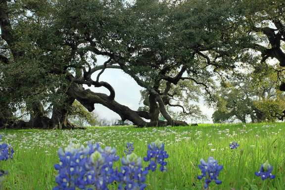 Bluebonnets are beginning to bloom at Old Baylor Park in Independence, Texas, outside Brenham.