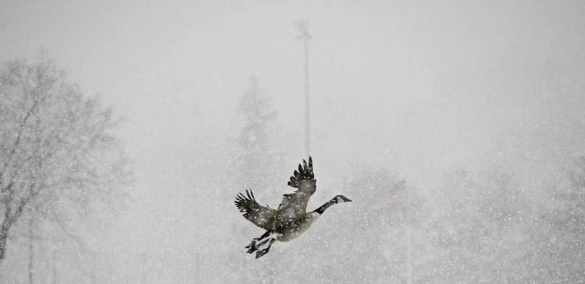 A goose takes flight from a field in Rogers Park on Friday morning, March 10, 2017, in Danbury, Conn.