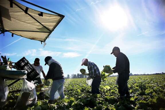 (FILES) This file photo taken on January 31, 2017 shows Mexican Farm workers harvesting lettuce in a field outside of Brawley, California, in the Imperial Valley. Donald Trump's actions against clandestine immigrants worry American farmers who use a large majority of foreign workers who accept low wages. / AFP PHOTO / Sandy HuffakerSANDY HUFFAKER/AFP/Getty Images