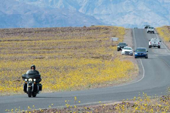 "Yellow wildflowers line the highway through Death Valley National Park, in Death Valley, California, March 4, 2016.  Unusally heavy rainfall in October trigged a ""super bloom,"" carpeting Death Valley National Park, the hottest and driest place in North America, in gold, purple, white and pink. The bloom is the parks largest in a decade. / AFP / ROBYN BECK        (Photo credit should read ROBYN BECK/AFP/Getty Images)"