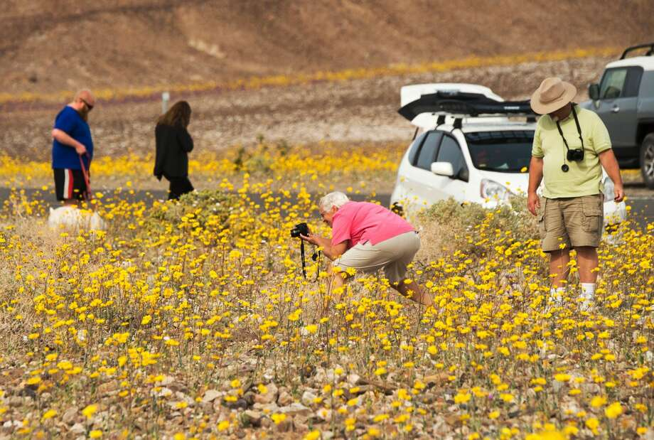 "Death Valley National ParkVisitors take photos of wildflowers in Death Valley National Park, in Death Valley, California, March 3, 2016. Unusally heavy rainfall in October trigged a ""super bloom,"" carpeting Death Valley National Park, the hottest and driest place in North America, in gold, purple, white and pink. The bloom is the parks largest in a decade. Photo: ROBYN BECK/AFP/Getty Images"
