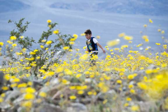 "A boy runs among wildflowers in Death Valley National Park, in Death Valley, California, March 3, 2016. Unusally heavy rainfall in October trigged a ""super bloom,"" carpeting Death Valley National Park, the hottest and driest place in North America, in gold, purple, white and pink. The bloom is the parks largest in a decade. / AFP / ROBYN BECK        (Photo credit should read ROBYN BECK/AFP/Getty Images)"