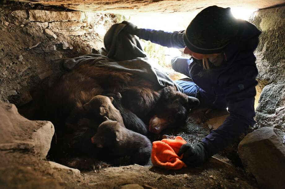 Colorado Parks & Wildlife researcher Heather Johnson puts three black bear cubs back in the den with their mother, on Raider Ridge in Durango, March 06, 2017. Johnson, is heading up a five-year study to determine the influence of urban environments on black bear behavior and population trends.  Photo: RJ Sangosti/Denver Post Via Getty Images