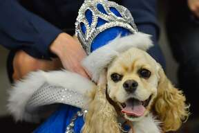 The Humane Society announced in March 2017 that Rey Fido XV is Olivia Stein, owned by by Elizabeth Priest. The Cocker Spaniel and her owner raised $40,200 for the El Rey Fido Fiesta fundraising competition, which benefits the San Antonio Humane Society.