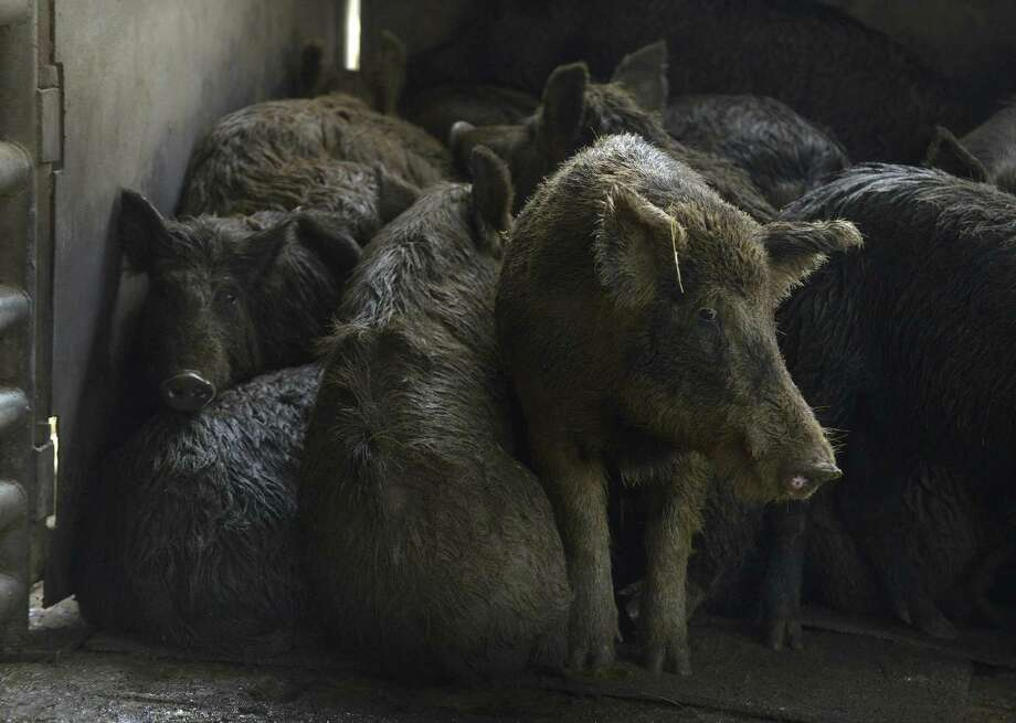 Feral hogs that have been trapped are held in a pen at Southern Wild Game, Inc. in Devine . Photo: Billy Calzada /San Antonio Express-News / San Antonio Express-News