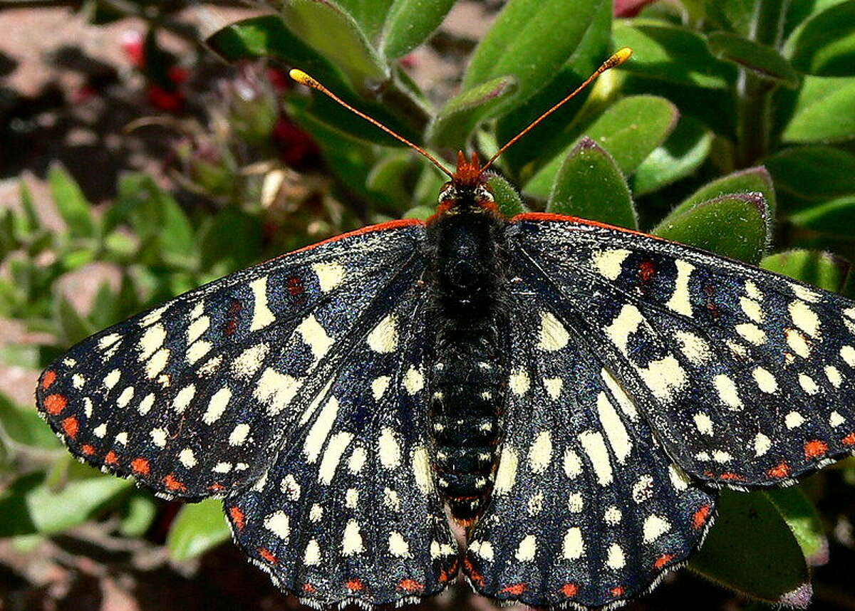 FILE-- Variable Checkerspot butterfly.