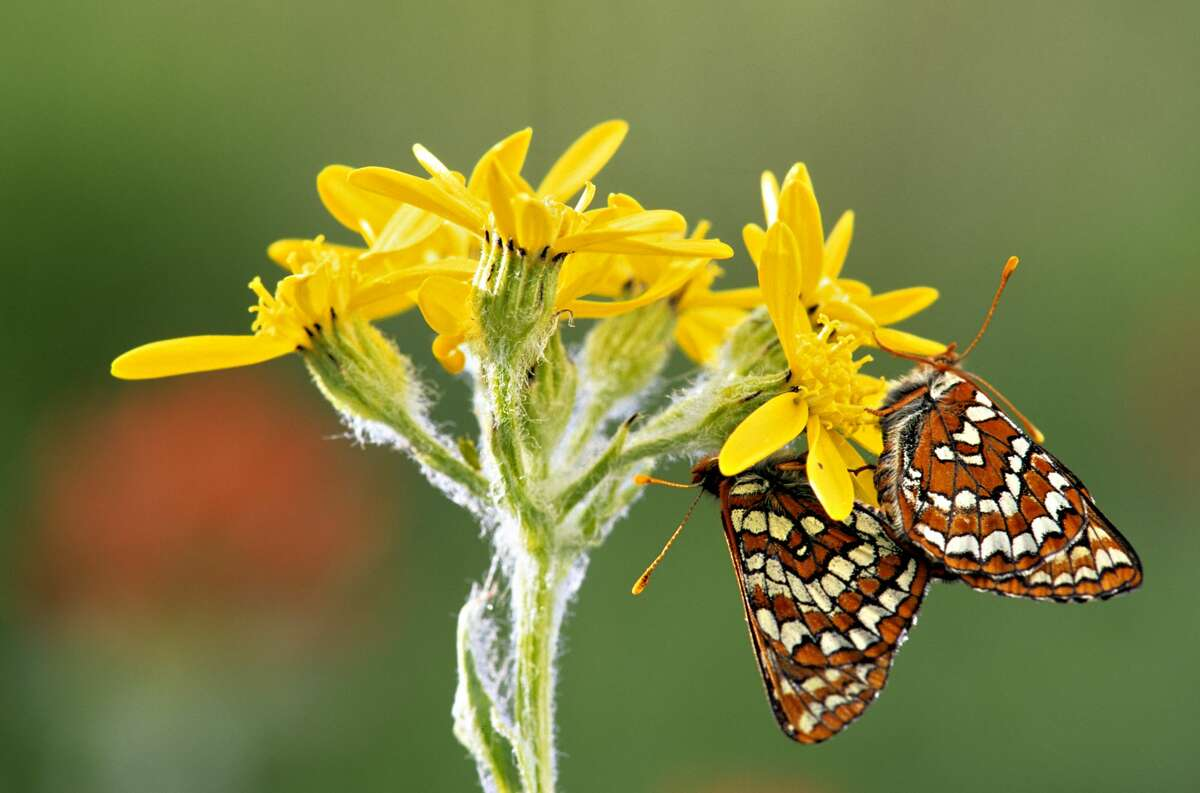 Variable checkerspots butterfly (Euphydryas chalcedona) mating on senecio flowers, South Chilcotin Mountains Provincial Park, British Columbia, Canada.