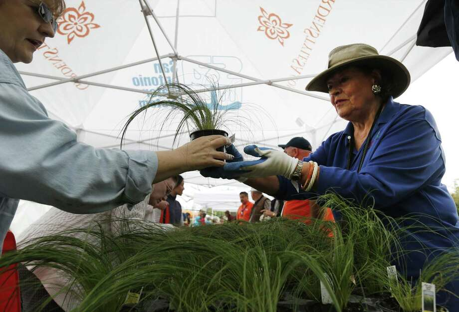 Maggie Harlan with Gardening Volunteers of South Texas hands a pony tail feather grass plant to an awaiting visitor at San Antonio Water System's annual Spring Bloom event on Saturday, Mar. 11, 2017. The event drew hundreds to seek out plant and gardening ideas on a misty Saturday morning. This year's theme aptly was rain gardens with gardening and landscape experts who spoke throughout the day and offered tips. There was also a learning area for children and hands-on demonstrations. (Kin Man Hui/San Antonio Express-News) Photo: Kin Man Hui, Staff / San Antonio Express-News / ©2017 San Antonio Express-News