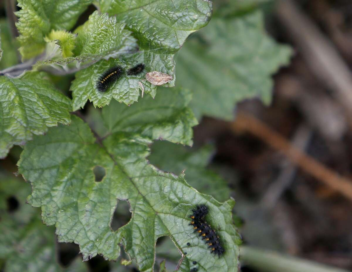 Caterpillars that will soon pupate into checkerspot butterflies are found on San Bruno Mountain on Friday, March 10, 2017, in San Francisco, Calif.