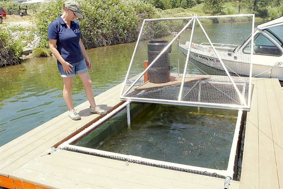 Louise Bigham at one of her trout pens at Pine Cove Marina at Lewiston Lake in Northern California, where she grows trout from 12 inches to 18 inches, and often bigger, before releasing them for anglers. Photo: Tom Stienstra, Tom Stienstra / The Chronicle