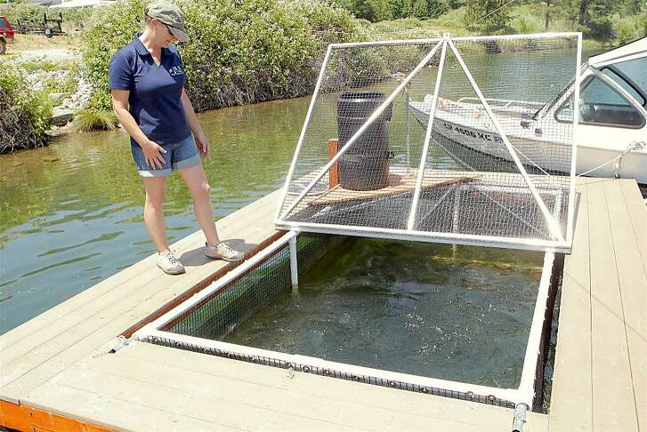 Louise Bigham at one of her trout pens at Pine Cove Marina at Lewiston Lake in Northern California, where she grows trout from 12 inches to 18 inches, and often bigger, before releasing them for anglers.