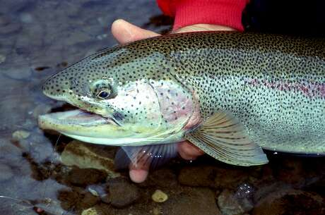 The quality of giant rainbow trout that be produced from net pen grow-out programs, shown off here by Tom Stienstra before release