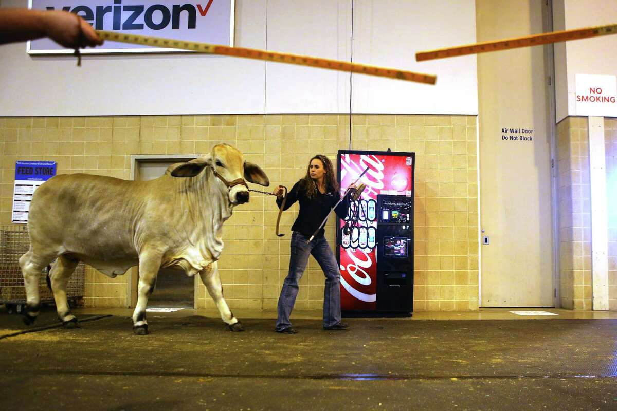 Brahman bulls are lined up for a show at NRG Center, Thursday, March 9, 2017, in Houston.