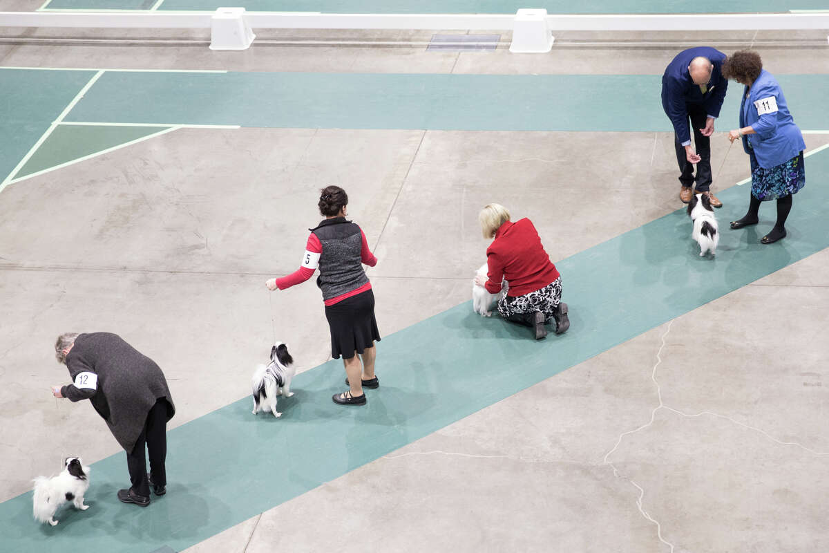 Japanese Chin are judged at the Seattle Kennel Club Dog Show at CenturyLink Field on Sunday, March 12, 2017.