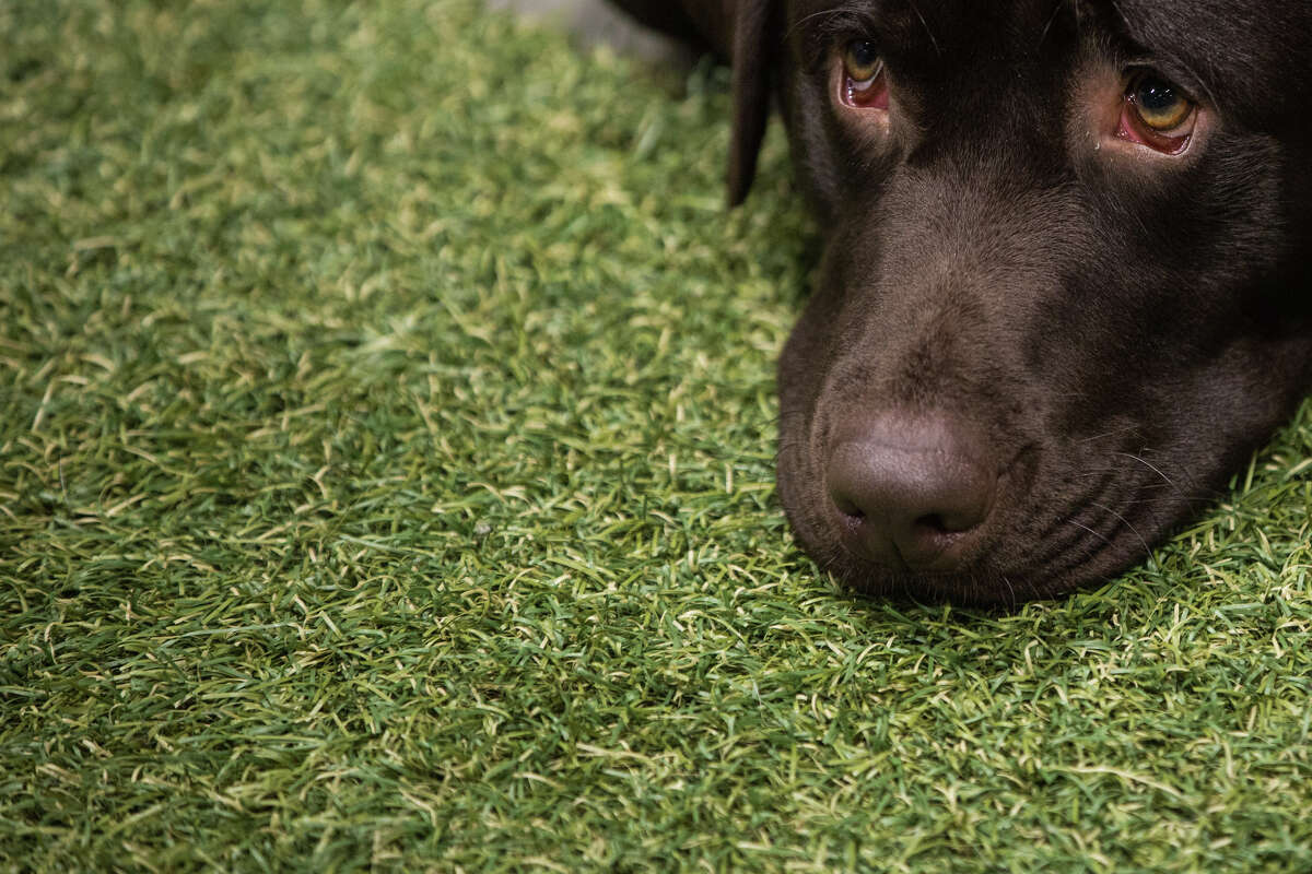 Remo, an English Labrador retriever looks up at his owner at an invisible fence booth at the Seattle Kennel Club Dog Show at CenturyLink Field on Sunday, March 12, 2017.