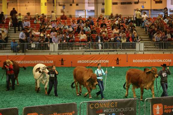 Brahman bulls are lined up during a show at NRG Center, Thursday, March 9, 2017, in Houston. ( Mark Mulligan / Houston Chronicle )