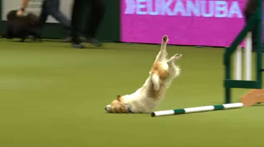 Olly, the Jack Russell terrier, gave it his all during his run at the Crufts 2017 dog show in Birmingham, England, but his excitement got the best of him as sprinted through the agility course backwards and even faceplanted in an attempt to jump a bar. Photo: Crufts Youtube Photo: Crufts Youtube
