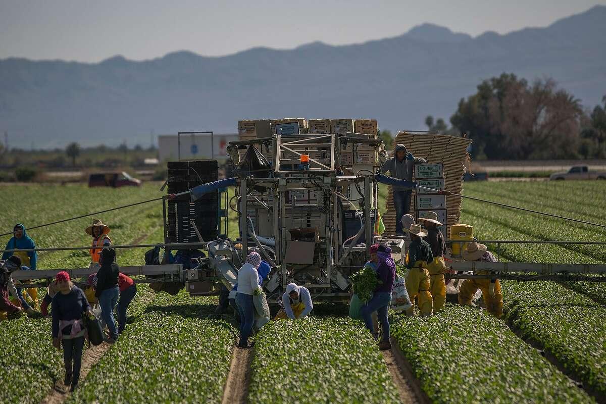 Immigrant farmworkers harvest spinach near Coachella (Riverside County) last month.