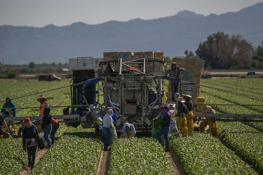 Immigrant farmworkers harvest spinach near Coachella (Riverside County) last month. Photo: DAVID MCNEW, AFP/Getty Images