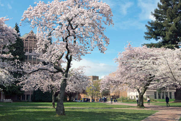 University of Washington, Seattle, Washington washington.edu The UW campus' quad has cherry blossom trees lining the pathways, getting all the students and nearby locals excited that springtime is here. They are so popular that they even have their own twitter account: @uwcherryblossom.