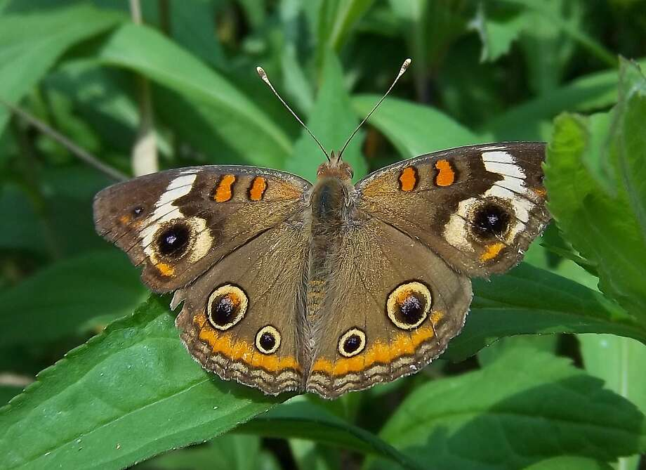 Common buckeye. Photo: WikiCommons Media