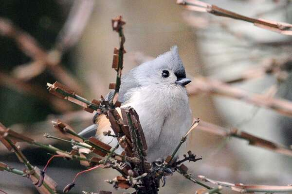 A tufted titmouse rests in the branches of a tree in the backyard of a home in the Byram section of Greenwich, Conn., Thursday, Dec. 15, 2016.