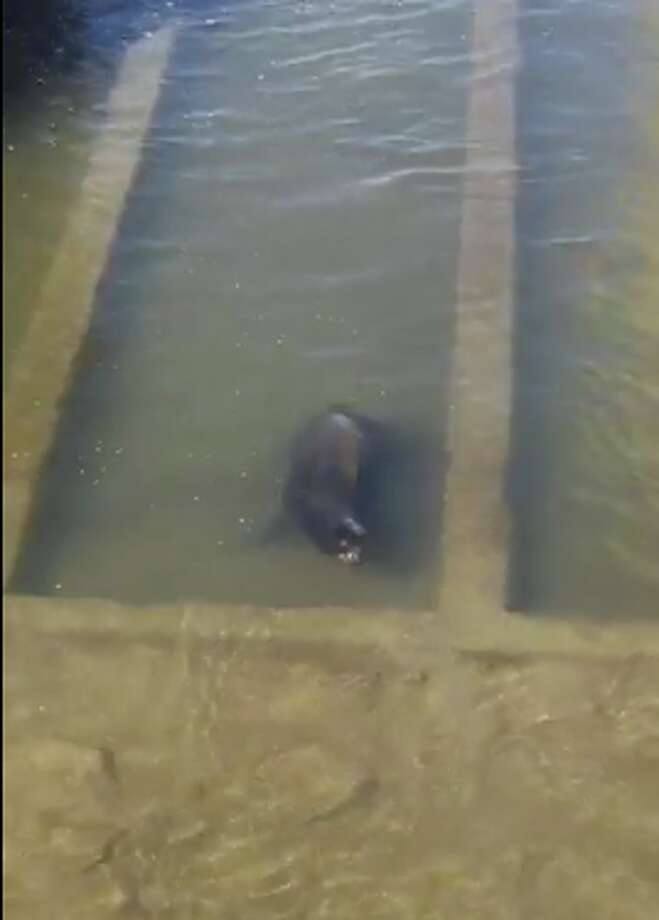A sea lion is stranded in a canal off Leisure Town Road in Vacaville. Authorities are on the scene. Photo: Vacaville Crime & Community Info