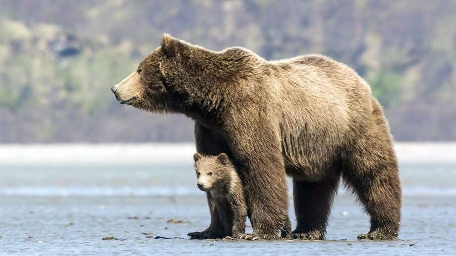 "A congressional bill would allow aerial tracking of bears and then depositing the hunters to shoot them. Shown here, ""Bears,"" is a Disney film that follows the adventures of a mother grizzly bear and her two cubs in Alaska. Photo: Contributed Photo /Contributed Photo / Westport News"