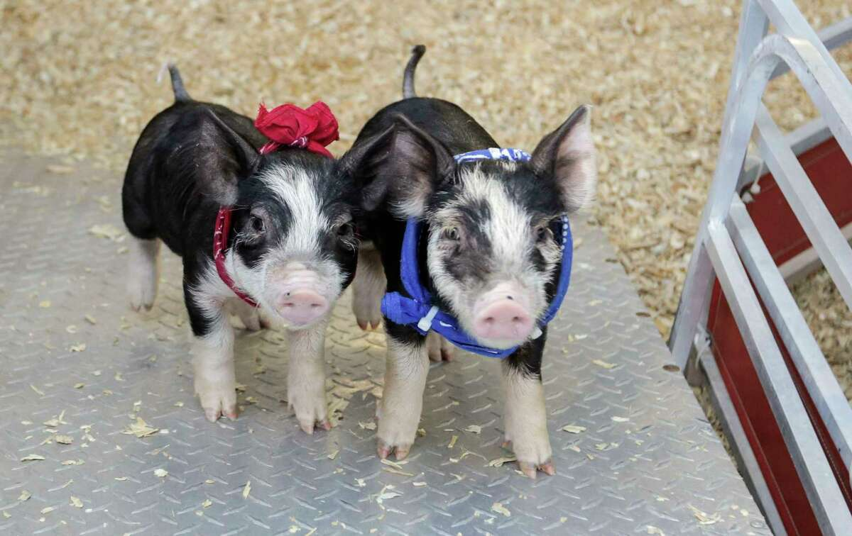 Pigs pose for a photo after the pig races event at Houston Livestock Show and Rodeo on Tuesday, March 14, 2017, in Houston.