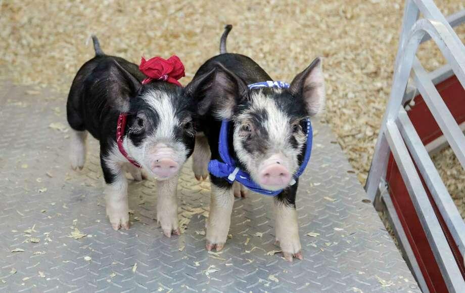Post-race, at the Houston Livestock Show and Rodeo on Tuesday. Photo: Elizabeth Conley, Houston Chronicle / © 2017 Houston Chronicle