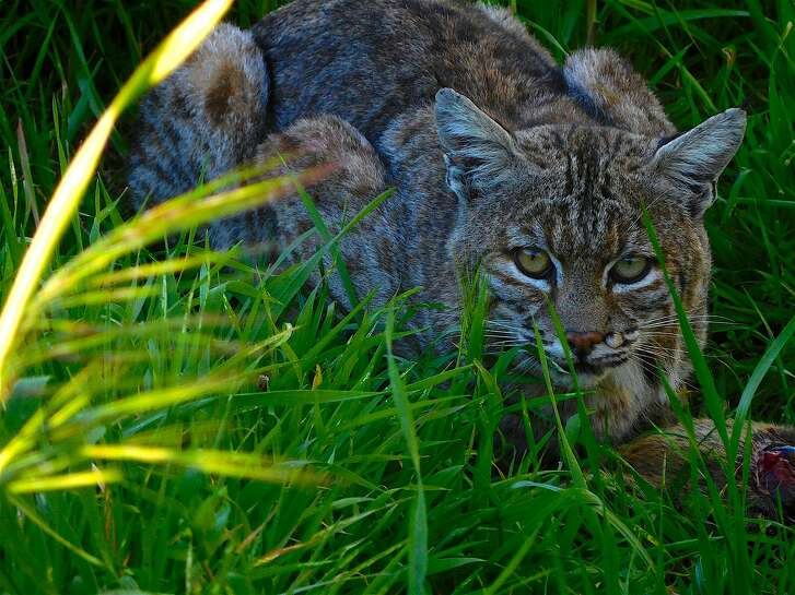Chronicle field scout Brian Murphy, rehabilitating from skin cancer surgery, was surprised by this bobcat last week along the trail in Tice Valley near Rossmoor and Walnut Creek