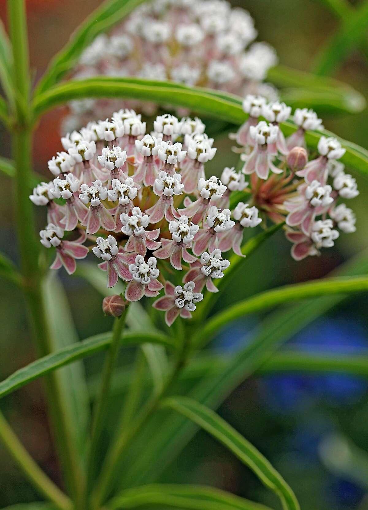 Asclepias Fascicularis. Credit: Annie�s Annuals & Perennials