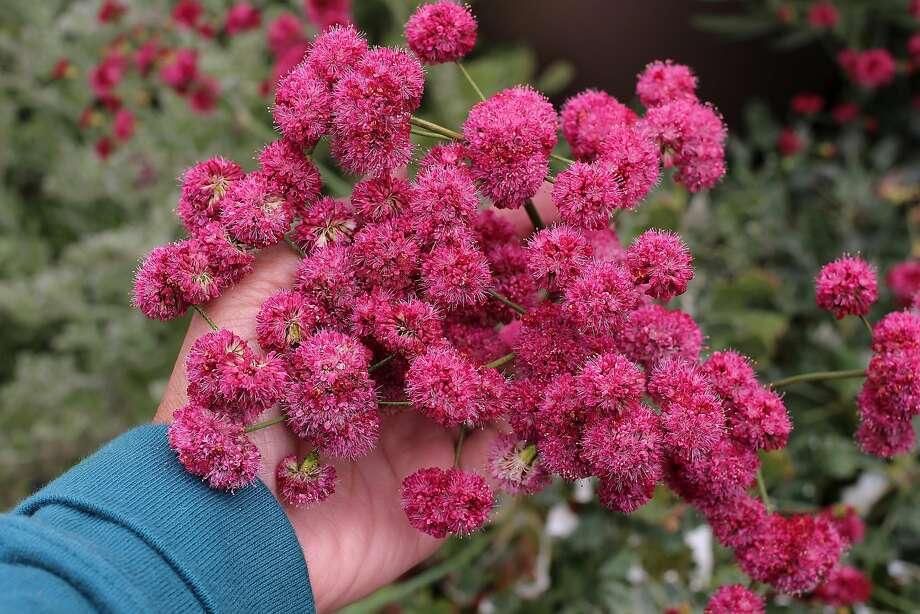 Eriogonum Grande Rubescens (California Buckwheat). Photo: Annie�s Annuals & Perennials