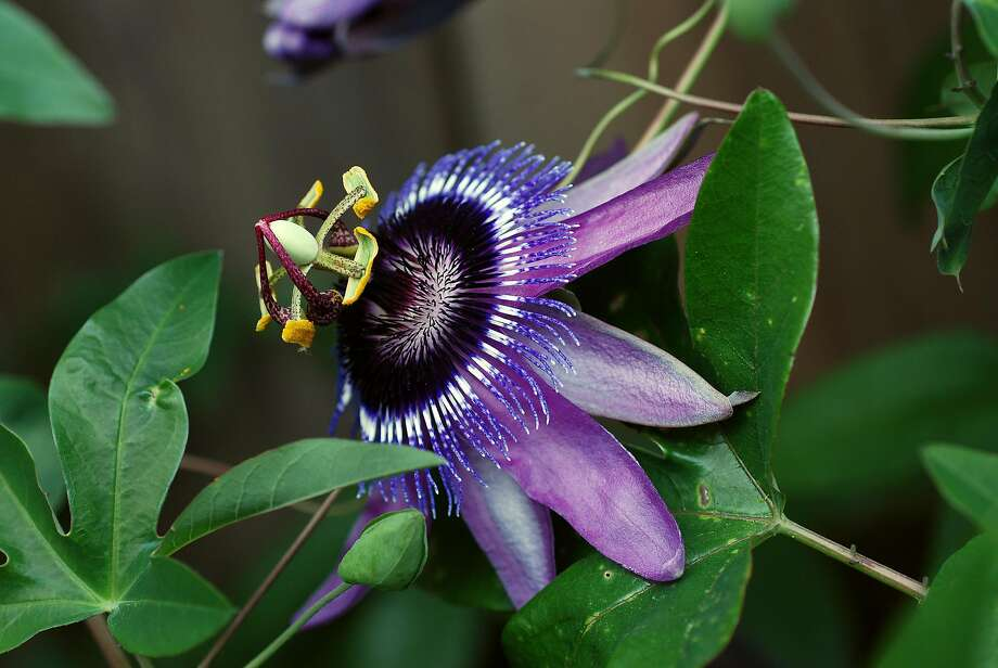 Passiflora Caerulea Loefgrenii.  Credit: Annie�s Annuals & Perennials Photo: Annie�s Annuals & Perennials