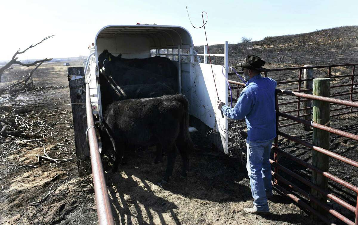 Gray County rancher Ron Ferguson works to load cattle that survived wildfires in Gray County, Texas.