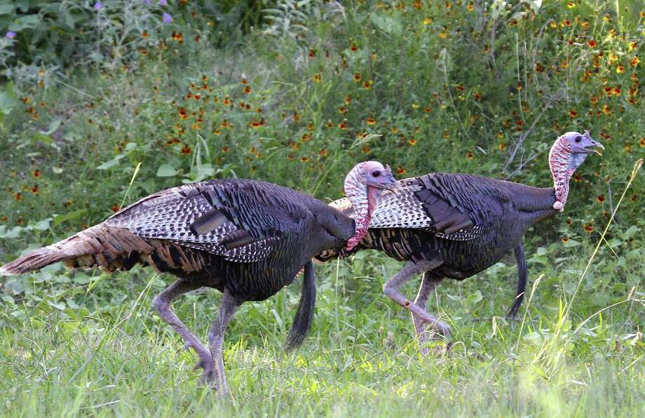 An abundance of vocal, aggressive 2-year-old gobblers, the result of outstanding nesting success in 2015, sets the stage for what could be a very productive 2017 spring turkey hunting season. The Rio Grande turkey season opens March 18 in the state's South Zone and April 1 in the North Zone. Photo: Shannon Tompkins