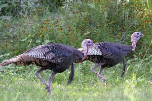 An abundance of vocal, aggressive 2-year-old gobblers, the result of outstanding nesting success in 2015, sets the stage for what could be a very productive 2017 spring turkey hunting season. The Rio Grande turkey season opens March 18 in the state's South Zone and April 1 in the North Zone.