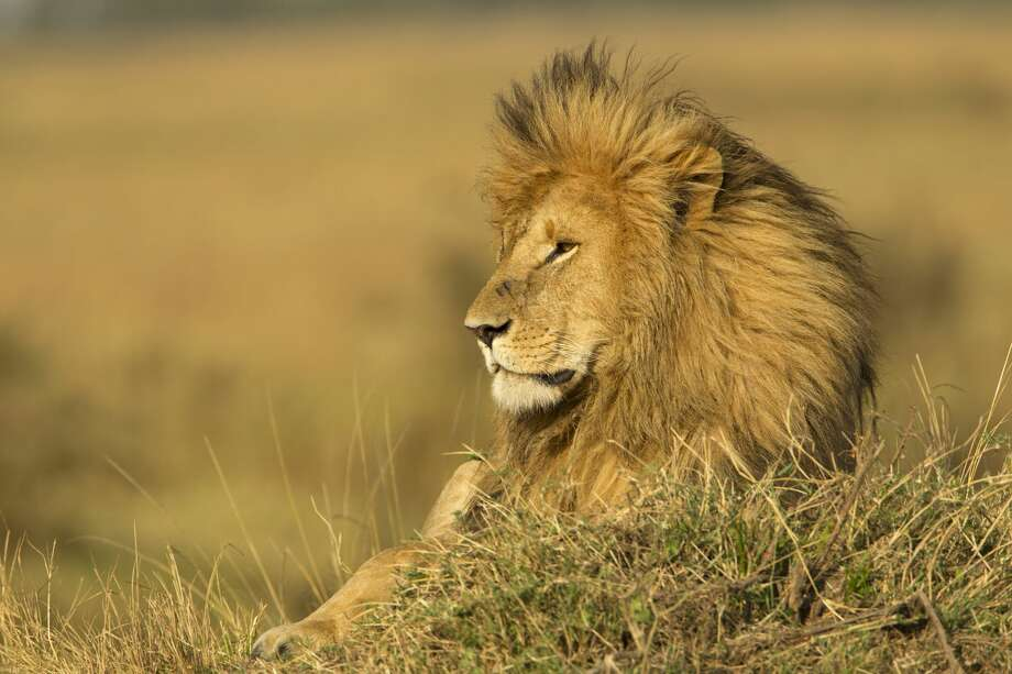 A Croatian trophy hunter was shot and killed Saturday while stalking a captive-bred lion in South Africa. Photo: Danita Delimont/Getty Images/Gallo Images