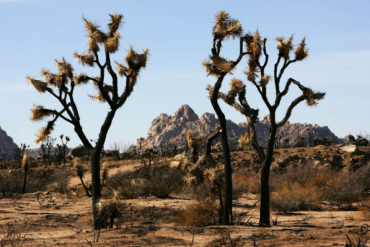 FILE - A Joshua tree forest decays in Pipes Canyon Wilderness Preserve, where recovery from a massive 2005 wildfire that killed most of its iconic Joshua trees is further complicated by a drought-inducing record dry winter on April 12, 2007 near Morongo Valley, California.