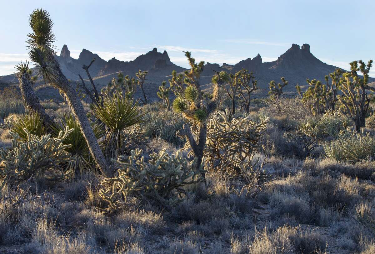 FILE - Native grasslands mingle with Joshua trees in the Mojave Desert landscape which President Obama has just designated as a National Monument about 10 miles north of Nipton, California.