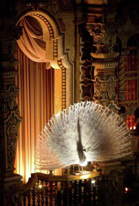 The Majestic Theatre's white peacock draws the eye partly because of the way that it is lit. Photo: Billy Calzada /San Antonio Express-News / San Antonio Express-News