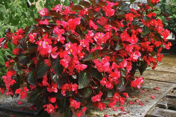 Hard Winter Too Tough On Wax Begonias Expressnews Com