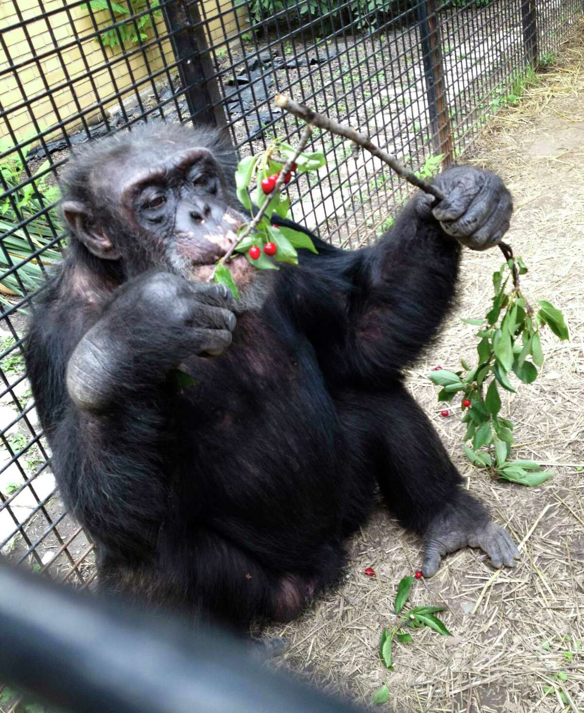 In this July 2013 photo provided by the Primate Sanctuary, the chimpanzee Kiko eats wild cherries at the nonprofit Primate Sanctuary in Niagara Falls, N.Y. Kiko's keeper Carmen Presti, and his wife rescued the deaf chimp 23 years ago from a life of performing at state fairs and in the television movie